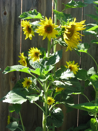 sunflowermany