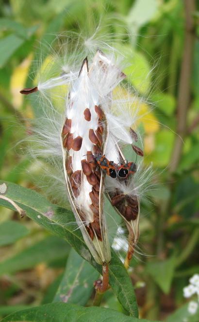 beetlepod