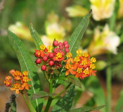 milkweed8