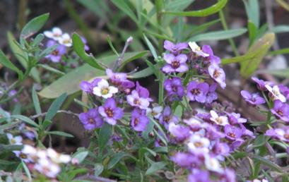 purplebells