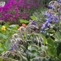 Borage, waiting for bees