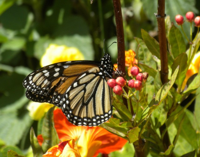 First Monarch sighting, 2011