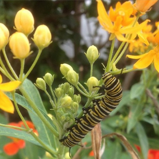 monarch caterpillar 2016
