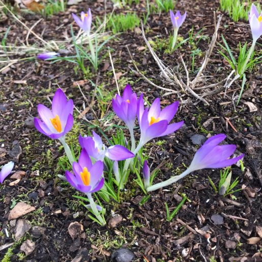 a cluster of purple crocuses rising from winter soil