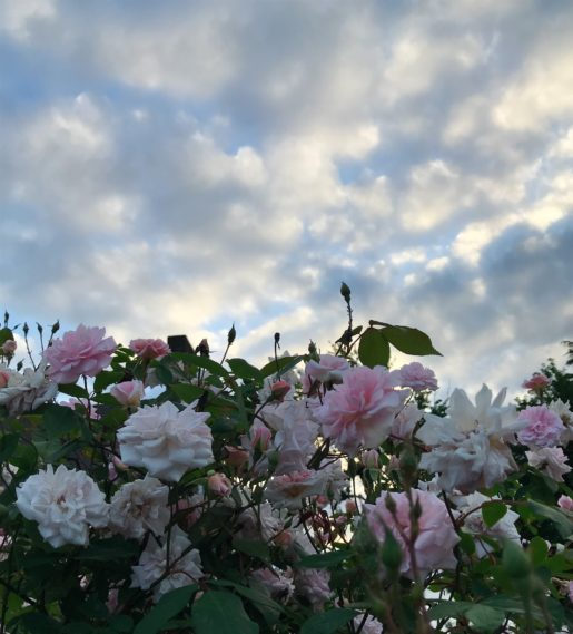 pink roses blooming against a cloudy sky