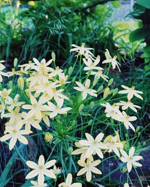 [Image: a mass of starry flowers, creamy pale yellow, against green leaves]