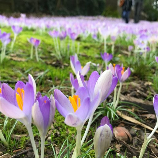 field of crocuses blooming in Wilshire Park, Portland, OR