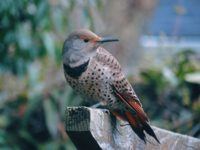 Photo of a female northern flicker. Every time she visits, she's one of my three (or seven or ten) things!