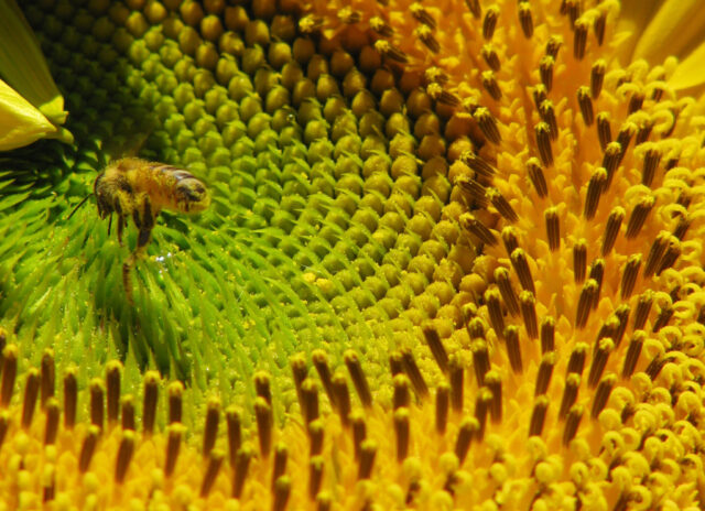 close view of a sunflower head and a bee coated in pollen