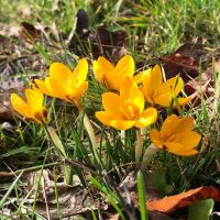 photo of a clump of yellow crocus in bloom