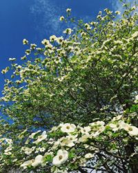 white dogwoods blooming against a blue sky